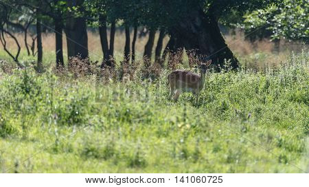 A female fallow deer in Jaegersborg Dyrehave a nature reserve near Copenhagen in Denmark