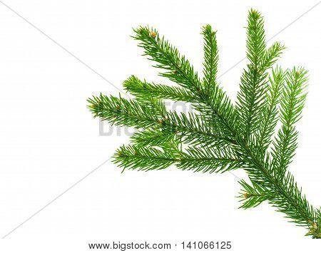 spruce twig holiday, decor on white background