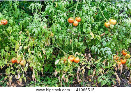 Tomato Bushes In Vegetable Garden After Watering