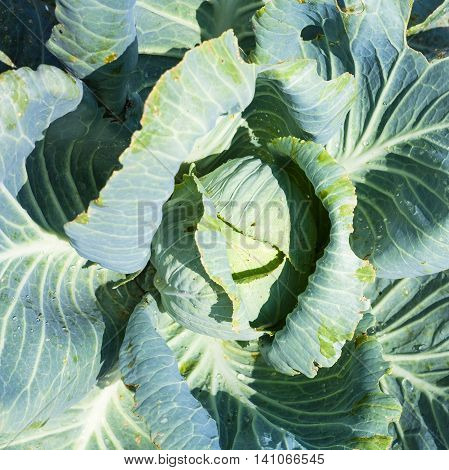 Head Of White Cabbage In Garden Illuminated By Sun