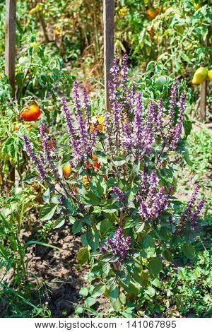 Basil Herb And Tomato Bush In Garden In Sunny Day