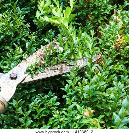 Cutting Boxwood Bushes By Pruning Shears