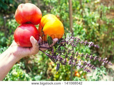 Gardener Hand Holds Ripe Tomatoes And Basil Herb