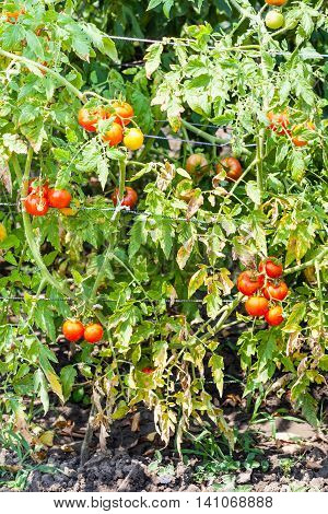 Tomato Bushes With Ripe Red Fruits In Garden