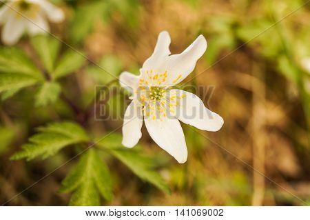 wood anemone white summer beautiful day .