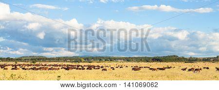 Herd Of Cows Grazing In Pasture Under Blue Sky