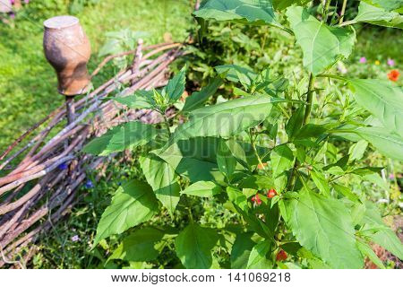 Sunflower Plant In Front Of Wattle Fence