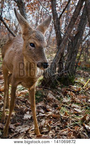 young deer walking in a safari park