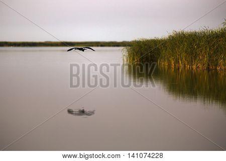 Ardea cinerea in the natural environment the Danube Delta Romania