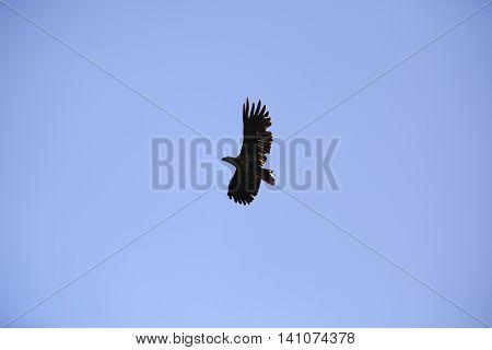 Aquila clanga the natural environment the Danube Delta Romania