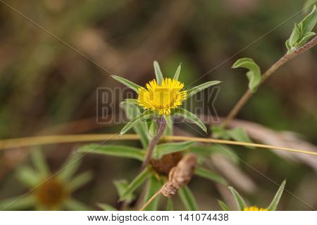 Flower of a Spiny Starwort (Pallenis spinosa).