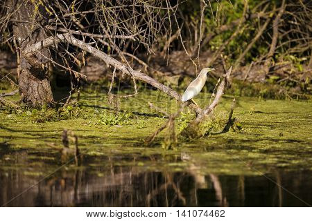 Ixobrychus minutus the natural environment the Danube Delta Romania