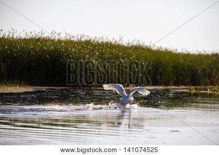 Cygnus color in the natural environment the Danube Delta Romania