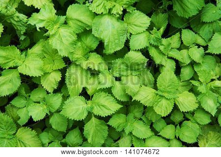Green shiso plant ( Perilla frutescens ) shot from above , formely known as beefsteak plant. Shallow depth of field.