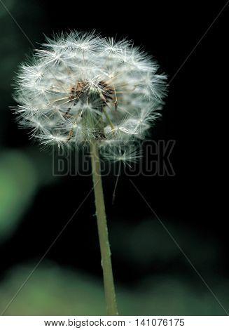 Beautiful dandelion spores