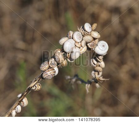 Many Small Snails Clinging To The Dried Plant