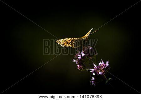 an orange long wing pollinating a purple flower