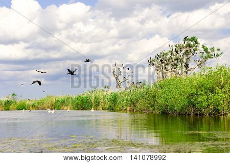 Cormorant nests in trees in Danube Delta Romania