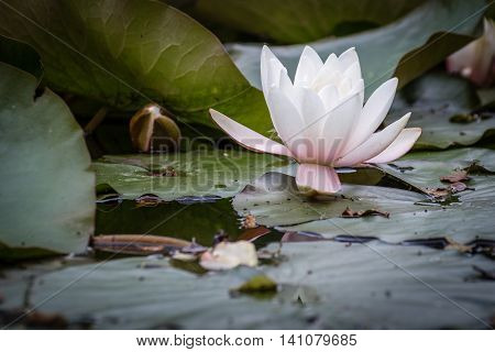 Single White Waterlily, in East Cramlington Pond which is a local nature reserve in Northumberland, providing free and easy access to nature