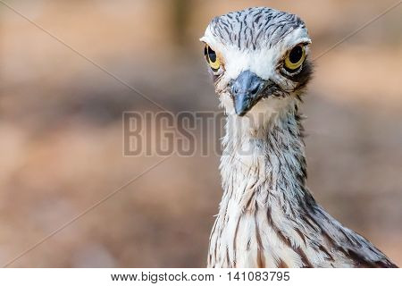 Close up of a Brush Stone Curlew's head and neck.