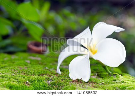 Plumeria White Flower On Moss And Bokeh Background (other Names Are Frangipani, Apocynaceae, Nerium