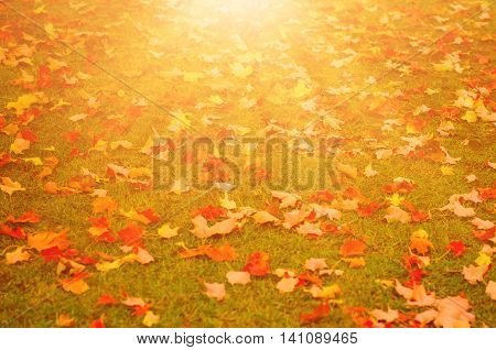 Autumn natural flat sunny background with colorful red maple leaves on a green grass