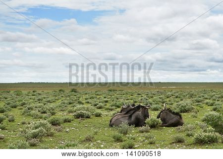 Blue Wildebeest Antelopes, Africa