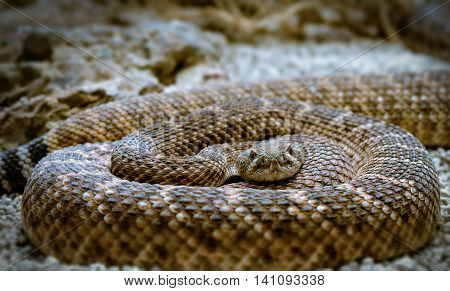 the rattlesnake curled up looking into the camera,snake closeup