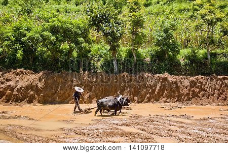 The farmer plowing a paddy field with buffalo India