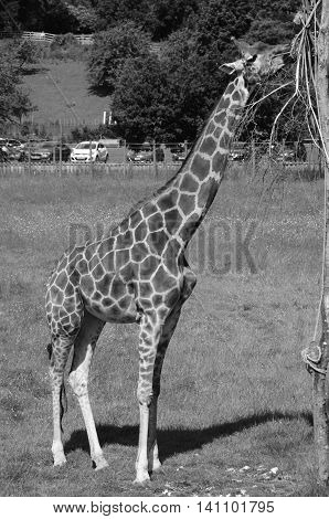 A view of a giraffe in an animal enclosure