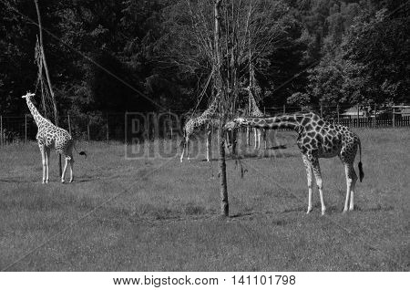 A view of giraffe in an animal enclosure