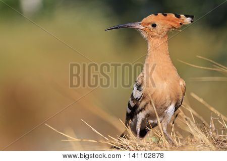 rare, beautiful bird with a colorful plumage, hoopoe, a bird with bangs, a unique moment