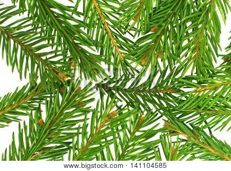spruce twig decoration xmas on white background