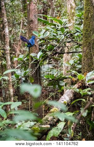 The Blue coua bird sitting on the tree's branch in the forest. Madagascar