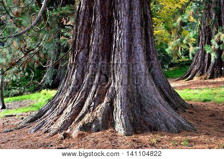 Base of a Canadian Redwood amongst many