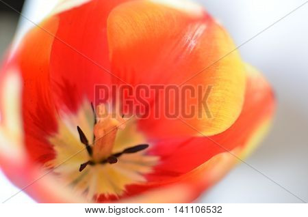 Closeup Photo Of Red Tulip Core, Abstract Floral Background