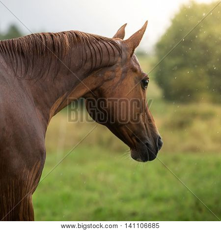 Portrait of a Russian Don horse  at summer day