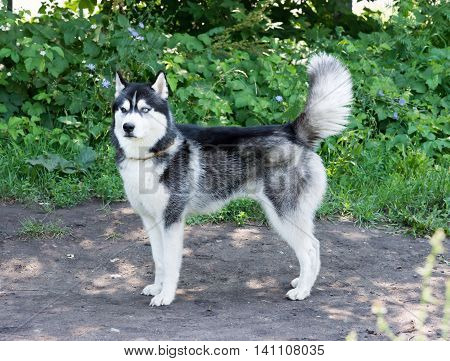 Beautiful Husky dog with different eyes stands on the site for dog walking