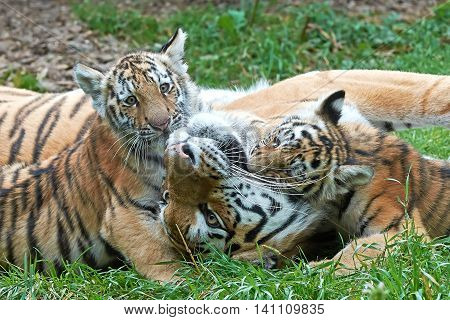 Amur Tiger (Panthera tigris altaica) plays in grass with her little cubs