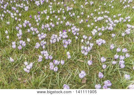 Many crocuses on green grass at a sunny day