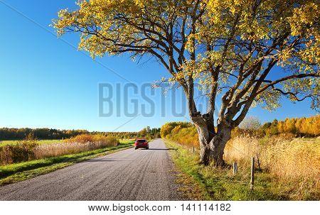 Elm tree on the road side in autumn. Car on asphalt road in october