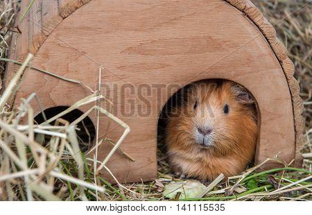 Portrait of cute red guinea pig. Close up photo.