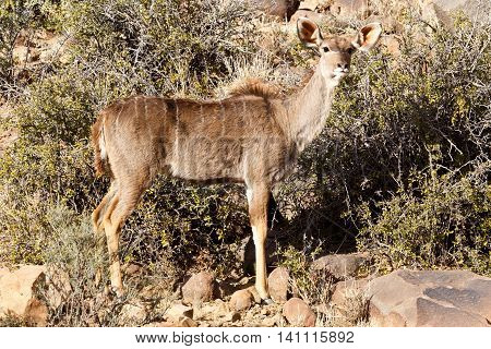Female Kudu Standing - Wildlife Park -  Beaufort West
