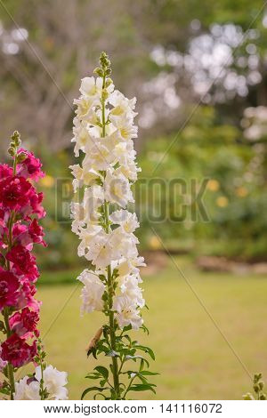Snap dragon flower (Antirrhinum majus) blooming in garden