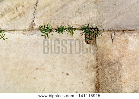 Grass sprouts grown in the seams of limestone paved track, closeup