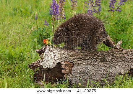 Porcupine (Erethizon dorsatum) Sniffs at Flower - captive animal