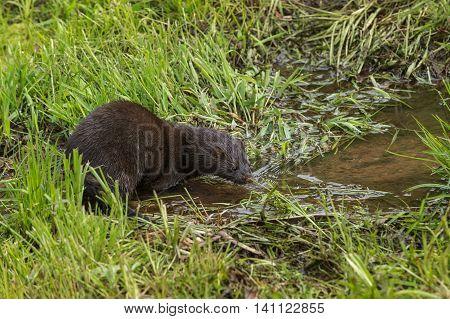 Adult American Mink (Neovison vison) Looks Into Water - captive animal