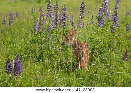 White-Tailed Deer Fawn (Odocoileus virginianus) Stands in Lupin Patch - captive animal