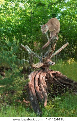 Adult Female Cougar (Puma concolor) Perched Atop Log - captive animal