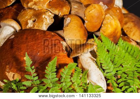 Big pile of fresh porcini mushrooms before cooking, decorated with green ferns, folded hats to the camera